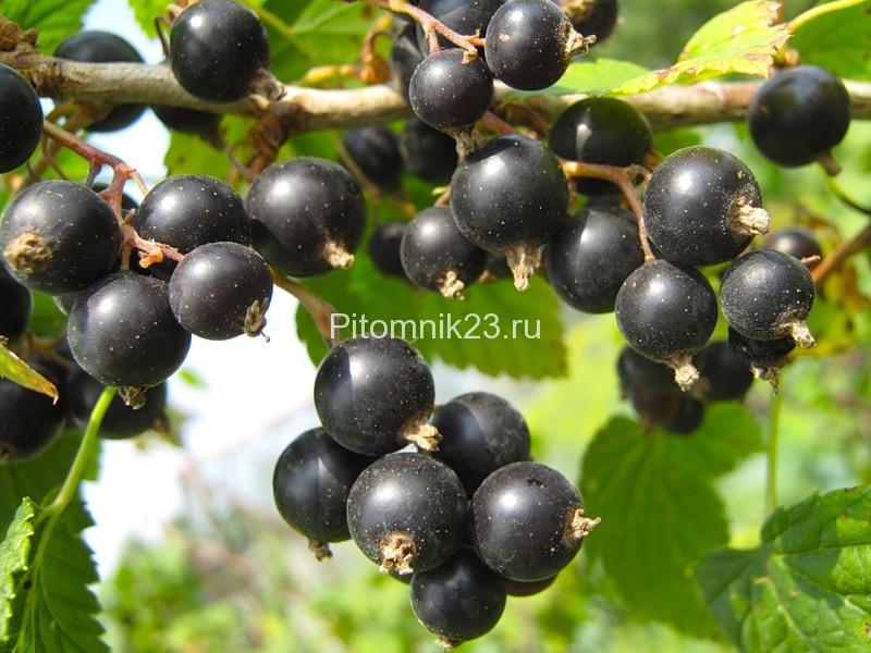 Саженцы смородины Черный жемчуг