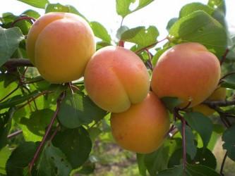 Саженцы абрикоса Георгиевский ранний