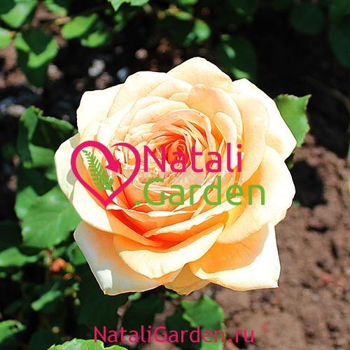 Саженцы розы Гейша (Geisha)