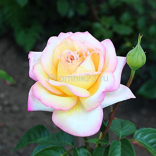 Саженцы чайно-гибридной розы Глория Дей (Gloria Dei)