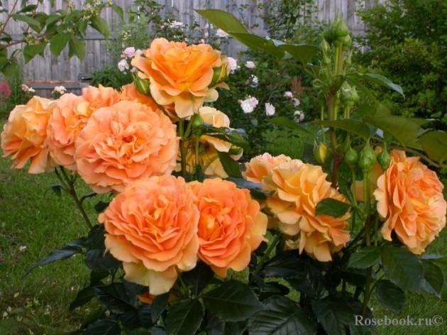 Саженцы роз Goldelse (голдэльзе)
