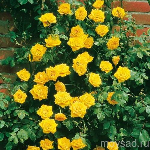 Саженцы роз Golden showers (голден шоуэрс)