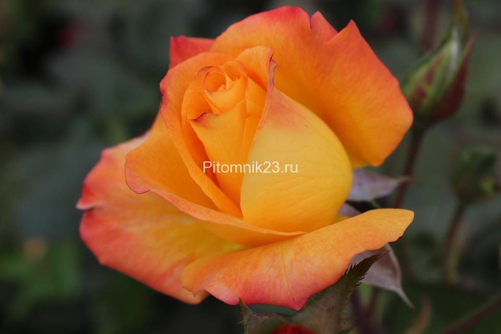 Саженцы чайно-гибридной розы Золотой дракон (GoldenDragon)