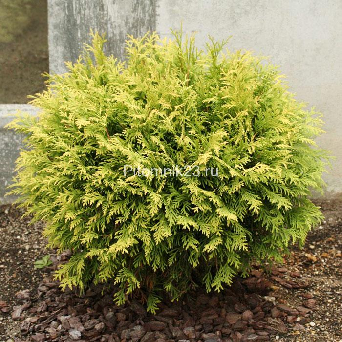 Саженцы туи Голден Глоб (Thuja occidentalis Golden Globe)