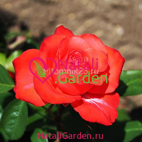 Саженцы розы Голд Перл Штейн (Gold Perl Stein)