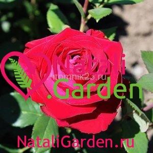 Саженцы розы Гошпель (Gospel)
