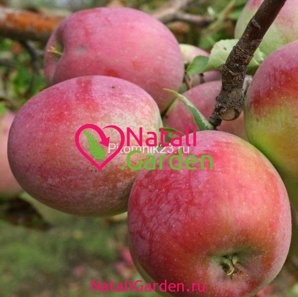 Саженцы яблони Граф Эззо