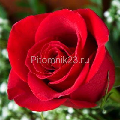 Саженцы роз Grand Gala (Гранд Гала)
