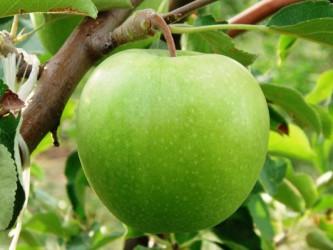 Саженцы яблони Гранни Смит