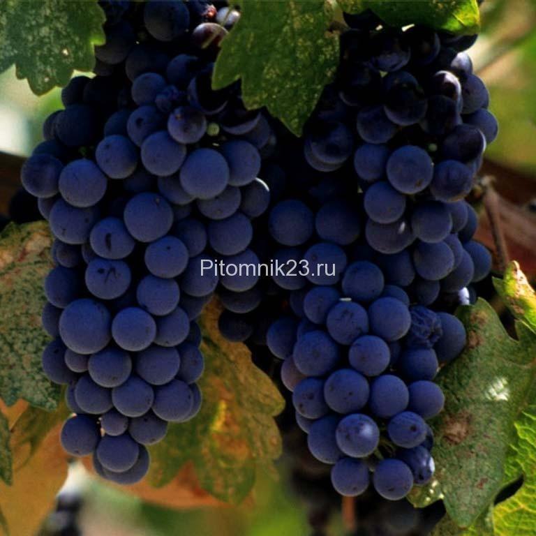 Саженцы винограда Мерло