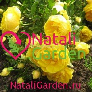 Саженцы розы Грэхем Томас (Graham Thomas)