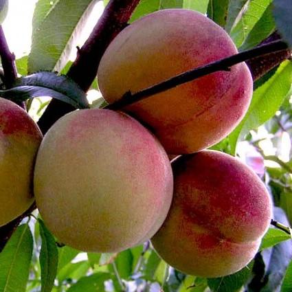 Саженцы персика Гринсборо