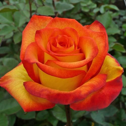 Саженцы роз High Orange Magic (Хайт Оранж Меджик)