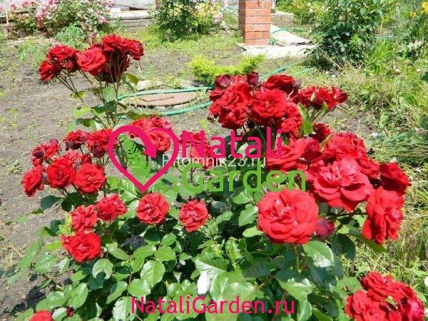Саженцы английской парковой розы Хоуп Фо Хьюманити