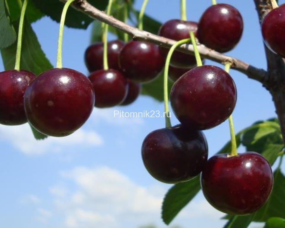 Саженцы вишни Игрицкая