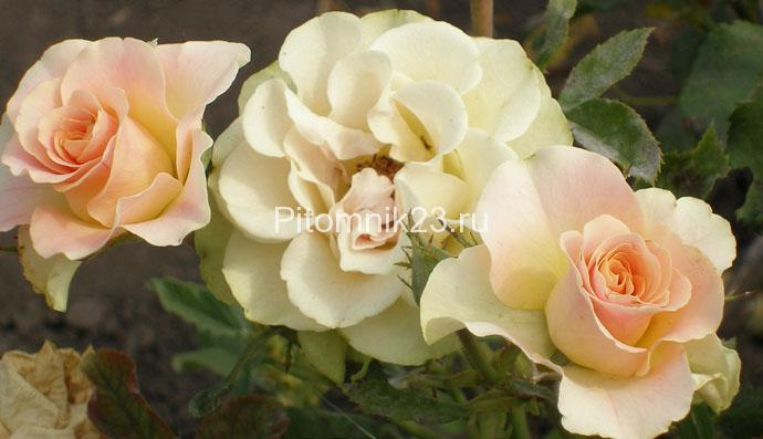 Саженцы розы спрей Изис (Izis)