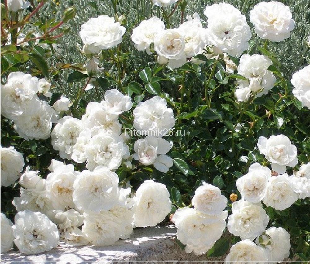 Саженцы розы спрей Вайт Джем (White Jem)