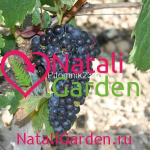 Саженцы винограда Каберне-Совиньон