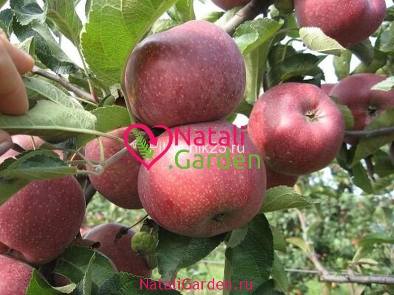 Саженцы яблони Кармен
