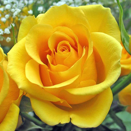 Саженцы роз Kerio (Керио)