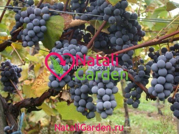 Саженцы винограда Кишмиш Аттика