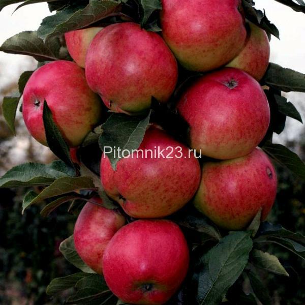 Саженцы яблони Московское Ожерелье Колоновидная