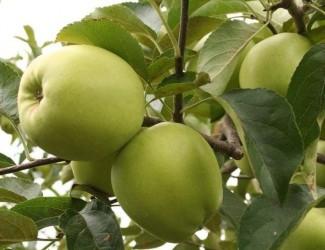 Саженцы яблони Корей