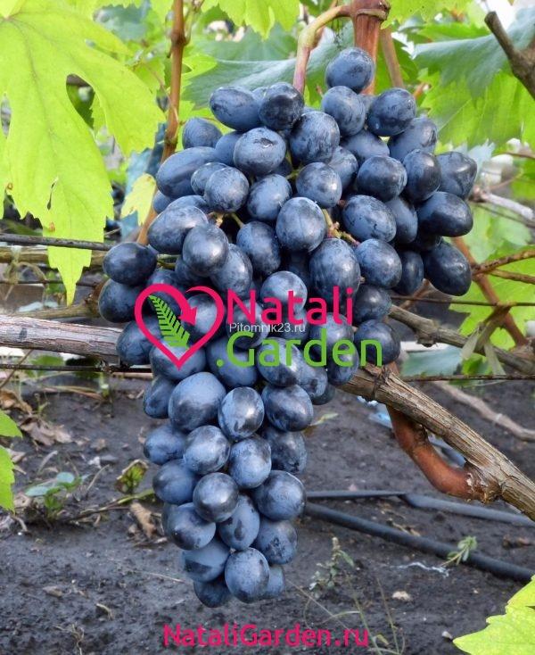 Саженцы винограда Кишмиш Осенний Королевский