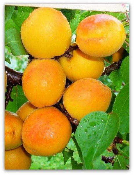 Саженцы абрикосаКоролевский