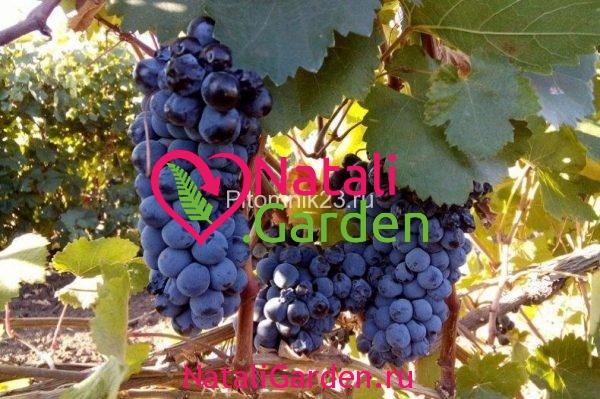 Саженцы винограда Красностоп
