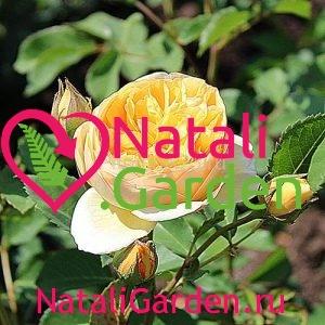 Саженцы розы Крокус (Crocus)