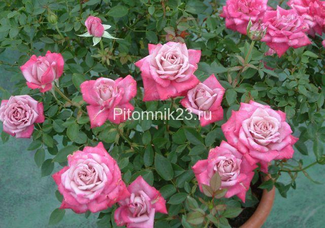 Саженцы миниатюрной розы Lavender Lace (Лавендер Лэйс)
