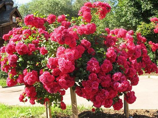 Саженцы роз Laguna (лагуна)
