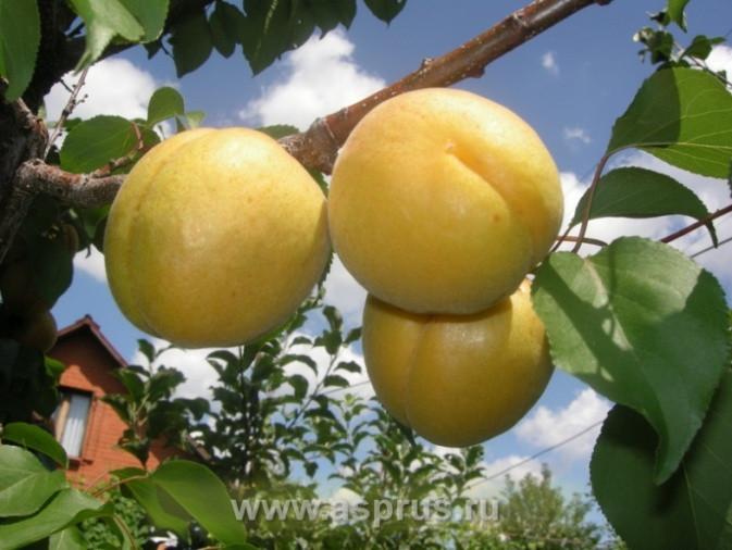 Саженцы абрикоса Лак