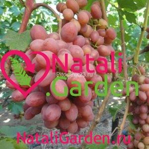 Саженцы винограда Гурман Лакомка