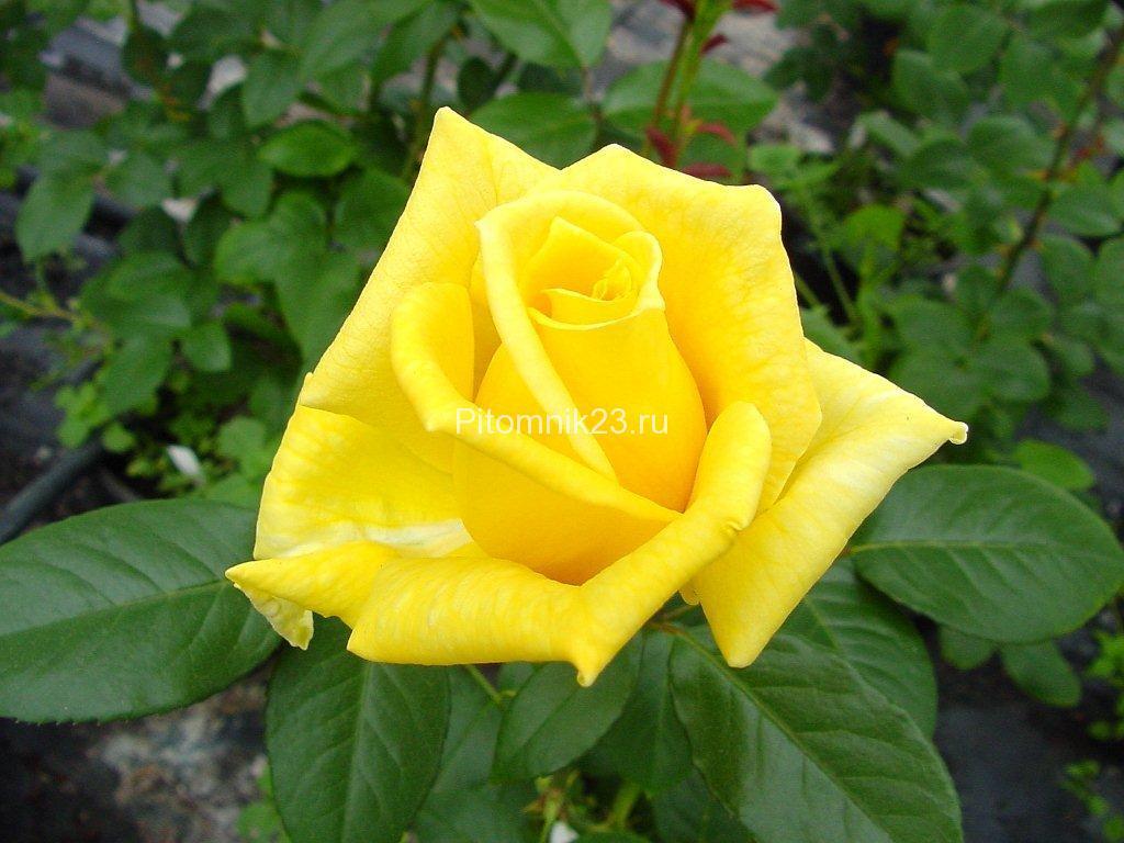Саженцы чайно-гибридной розы Ландора(Landora)