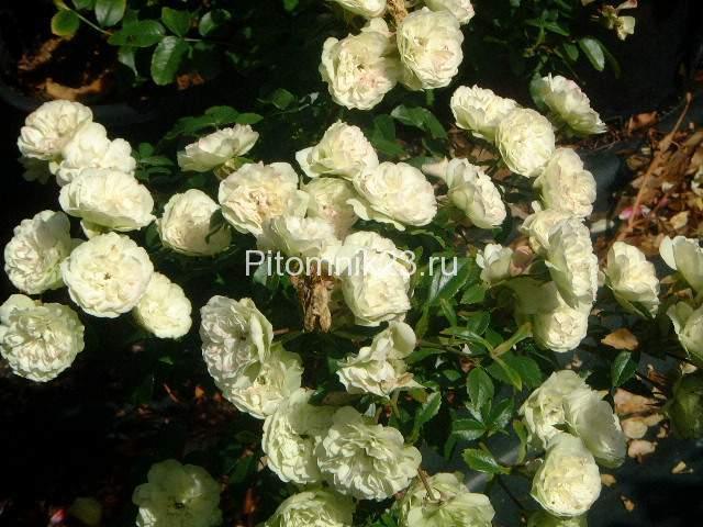 Саженцы миниатюрной розы Green Ice (Грин Айс)
