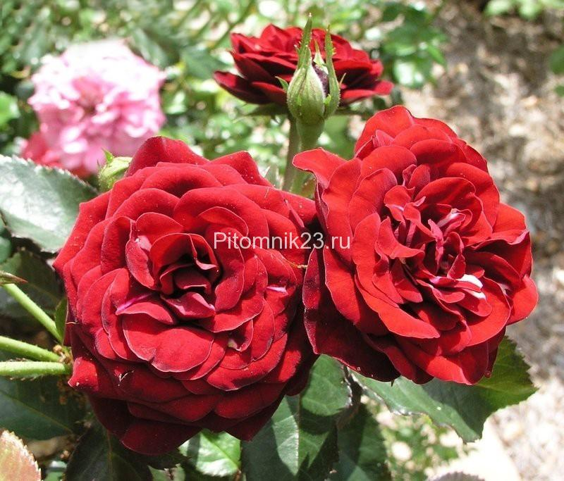 Саженцы розы спрей Лавалглют (Lavaglut)