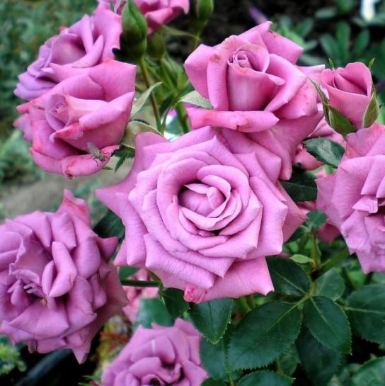 Саженцы роз Lavender Meillandina (Лавендер Мейландина)
