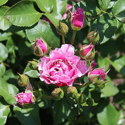 Саженцы миниатюрной розы Lavender Jewel (Лавендер Джевел)