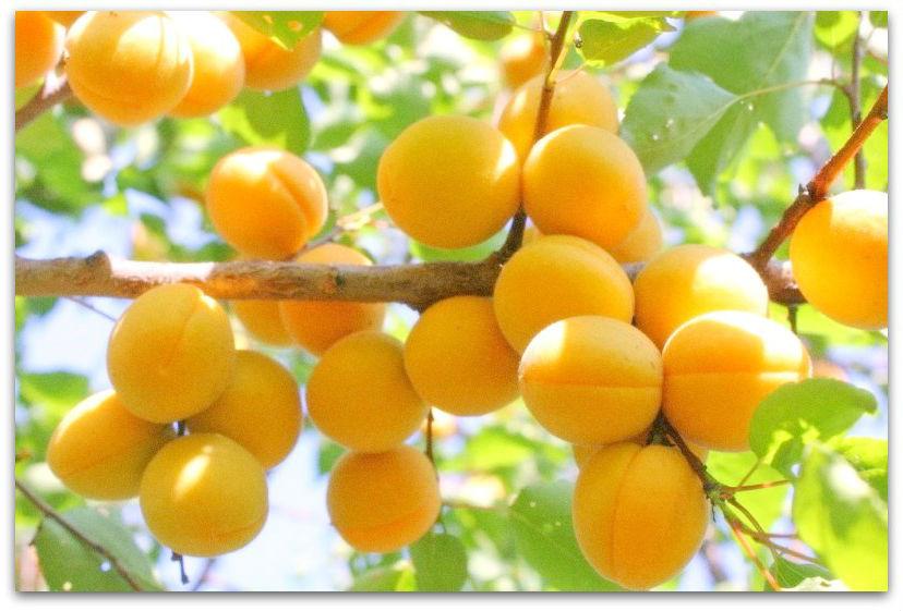 Саженцы абрикоса Лель