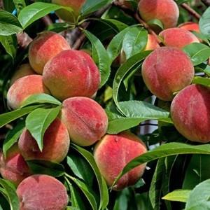 Саженцы персика Лесостепной ранний