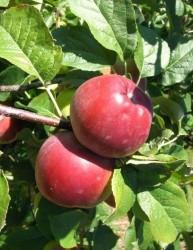Саженцы яблони Либерти