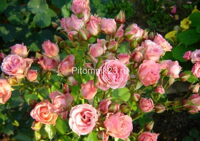 Саженцы розы спрей Оранж Клементина (Orange Clementine)