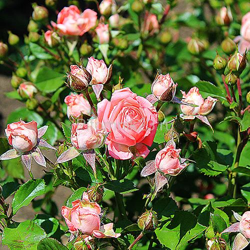Саженцы розы спрей Лидия(Lydia)