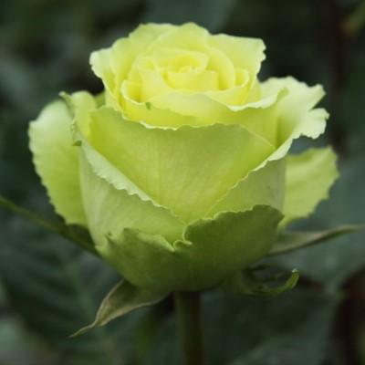 Саженцы роз Green & Yellow (Грин Еллоу)