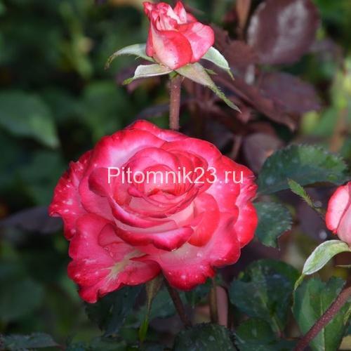 Саженцы розы спрей Арифа (Arifa)
