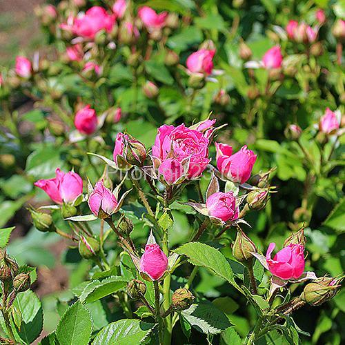 Саженцы розы спрей Любимая Лидия (Lovely Lydia)