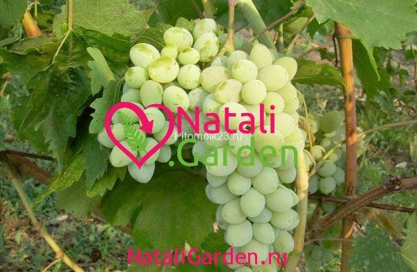 Саженцы винограда Ляна