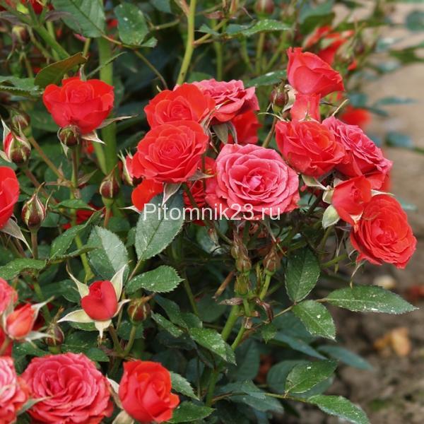 Саженцы миниатюрной розы Maidy (Мэйди)